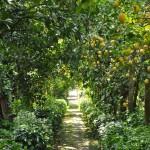 Procida lemon grove